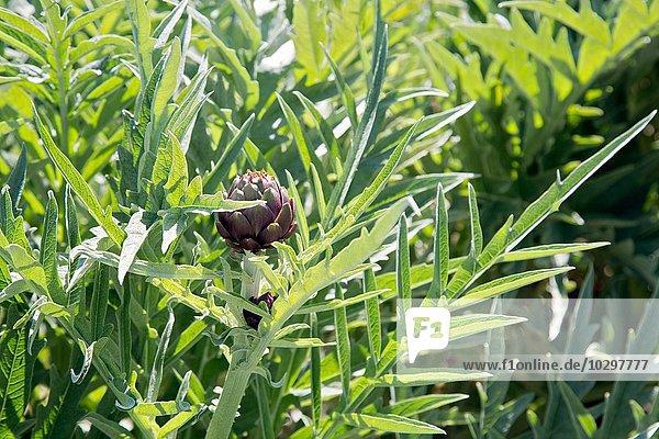 Nahaufnahme der violetten Artischockenpflanze im Vollbild