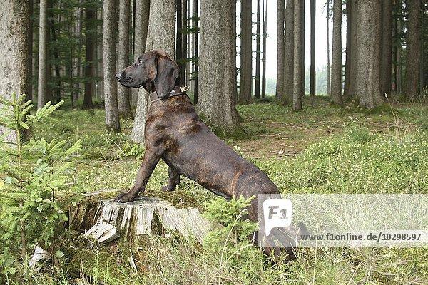Jagdhund  Schwarzwälder Schweißhund  Allgäu  Bayern  Deutschland  Europa