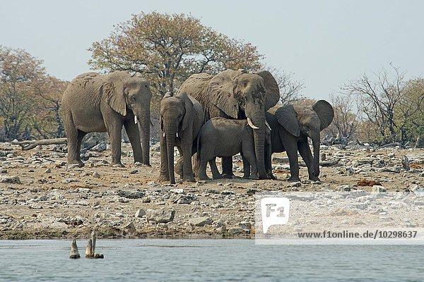 Afrikanische Elefanten (Loxodonta africana)  Etosha Nationalpark  Namibia  Afrika
