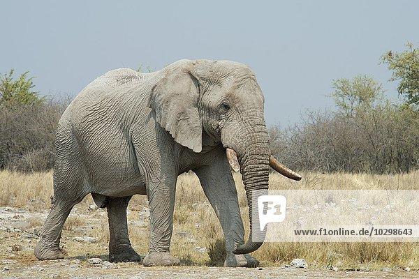 Afrikanischer Elefant (Loxodonta africana)  Bulle  Etosha Nationalpark  Namibia  Afrika