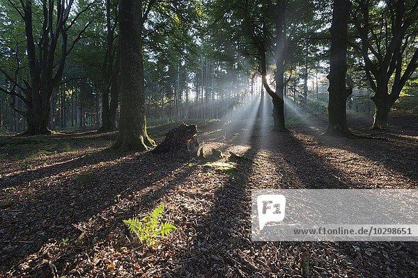 Lichtstrahlen im Wald  Emsland  Niedersachsen  Deutschland  Europa