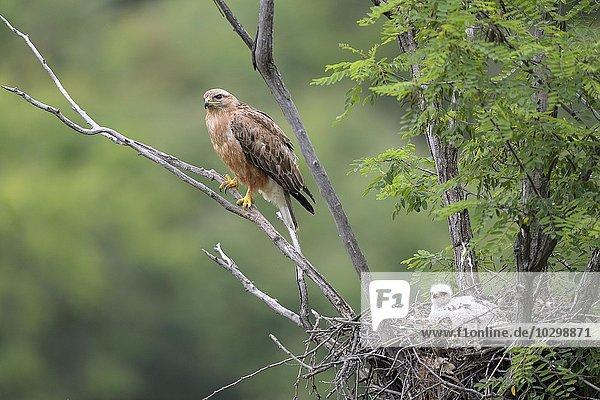 Adlerbussard (Buteo rufinus)  Weibchen und Jungvogel beim Horst  Nest  Region Pleven  Bulgarien  Europa