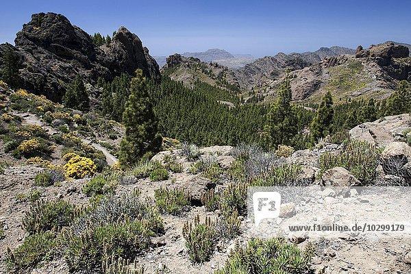 Ausblick vom Wanderweg zum Roque Nublo auf die Berge im Westen von Gran Canaria  blühende Vegetation  Kanarische Inseln  Spanien  Europa