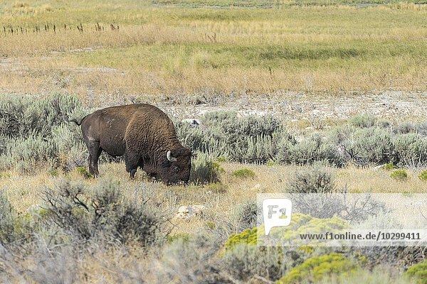 Grasender Bison (Bison bison)  Antelope Island  Utah  USA  Nordamerika