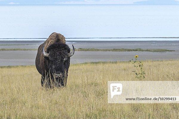 Bison (Bison bison) im Gras  hinten großer Salzsee  Antelope Island  Utah  USA  Nordamerika