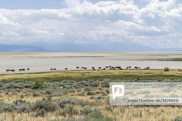 Bison Herde (Bison bison) zieht über großen Salzsee  Antelope Island  Utah  USA  Nordamerika
