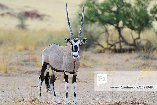 Oryxantilope (Oryx gazella)  Namib-Naukluft  Namibia  Afrika