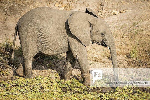 Afrikanischer Elefant (Loxodonta africana) beim Trinken am Wasserloch  Südluangwa-Nationalpark  Sambia  Afrika
