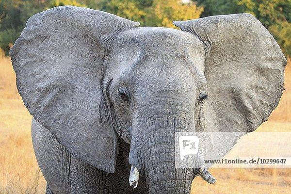Portrait eines Afrikanischen Elefanten (Loxodonta africana)  Südluangwa-Nationalpark  Sambia  Afrika