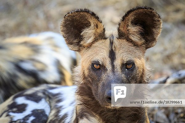 Afrikanischen Wildhund (Lycaon pictus)  Portrait  Südluangwa National Park  South Luangwa National Park  Sambia  Afrika