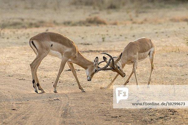 Kämpfende Impalaböcke (Aepyceros melampus)  Südluangwa National Park  South Luangwa National Park  Sambia  Afrika
