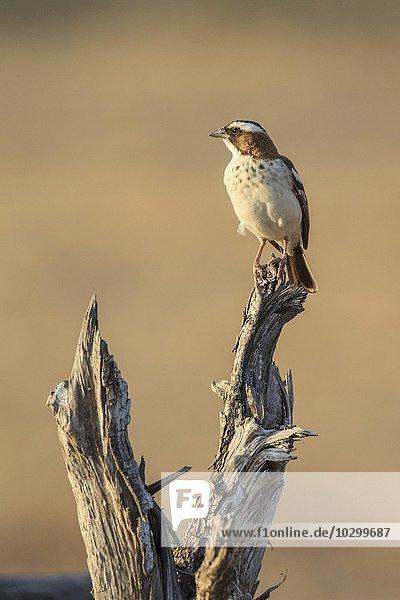 Augenbrauenmahali (Plocepasser mahali)  auf seiner Warte  Südluangwa National Park  South Luangwa National Park  Sambia  Afrika