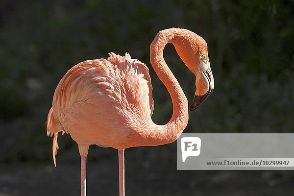 Flamingo,  Rosaflamingo (Phoenicopterus roseus),  captive,  Palmitos Park,  Maspalomas,  Gran Canaria,  Kanarische Inseln,  Spanien,  Europa