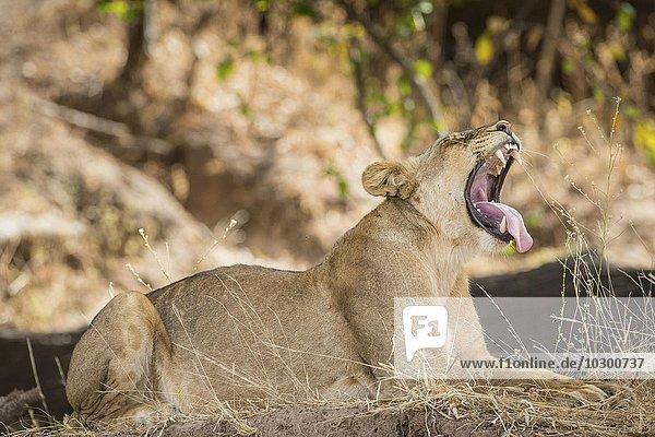 Lioness (Panthera leo)  yawning  South Luangwa National Park  Zambia  Africa
