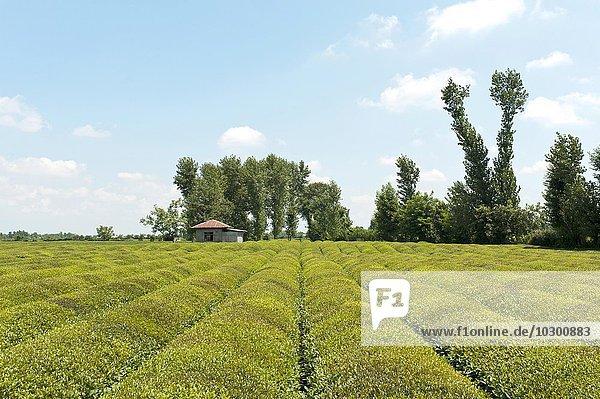 Teeplantage (Camellia sinensis)  Fuman  Fouman  Provinz Gilan  Iran