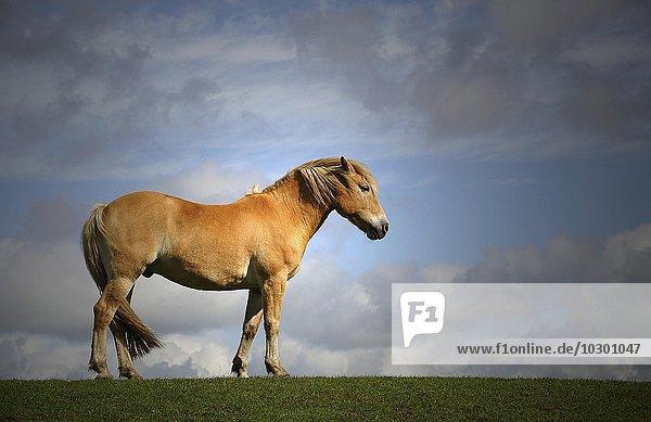 Braunes Pferd (Ecks ferus) steht auf einem Deich  Glückstadt  Schleswig-Holstein  Deutschland  Europa