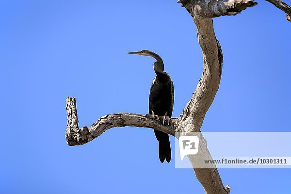 Altwelt-Schlangenhalsvogel (Anhinga melanogaster)  adult auf Warte  Bundala Nationalpark  Sri Lanka  Asien