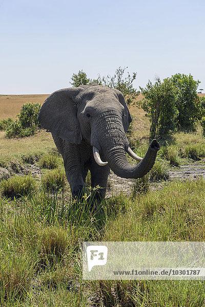 Elefant (Loxodonta africana) mit erhobenem Rüssel  Masai Mara  Narok County  Kenia  Afrika