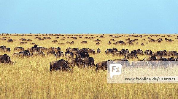 Gnuherden (Connochaetes taurinus) während der Migration  südliche Maasai Mara  Maasai Mara  Narok County  Kenia  Afrika