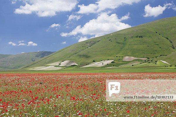 Wildblumen  Piano Grande  Nationalpark Monti Sibillini  Provinz Perigua  Umbrien  Italien  Europa