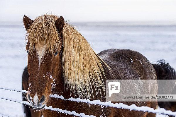 Islandpony in winterlicher Landschaft  Laugarvatn  Island  Europa