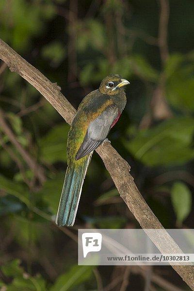 Narinatrogon (Apaloderma narina)  Kilombero-Tal  Tansania  Afrika