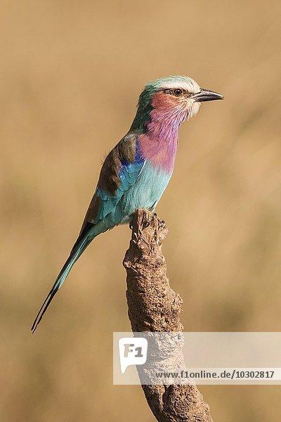 Gabelracke (Coracias caudatus)  Mikumi-Nationalpark  Tansania  Afrika