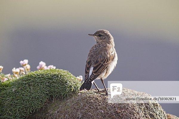 Juvenile Steinschmätzer (Oenanthe Oenanthe)  Fair Isle  Shetland Inseln  Schottland  Großbritannien  Europa