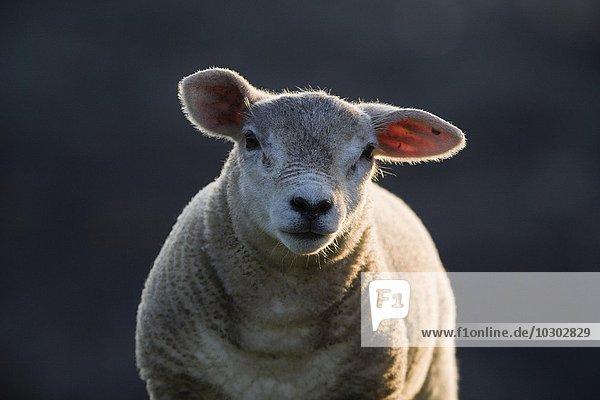 Lamm  Portrait  Fair Isle  Shetlandinseln  Schottland  Großbritannien  Europa