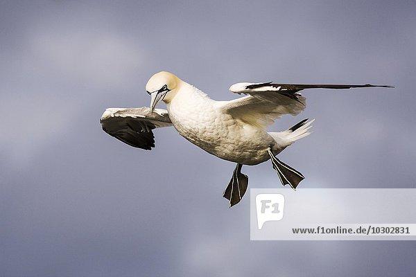 Basstölpel (Morus bassanus) im Flug  Fair Isle  Shetlandinseln  Schottland  Großbritannien  Europa