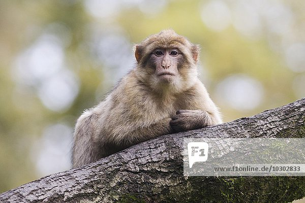 Berberaffe (Macaca sylvanus)  Monkey Forest  Trentham  Großbritannien  Europa