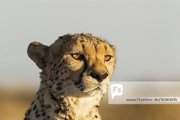 Gepard (Acinonyx jubatus)  Männchen  captive  Namibia  Afrika