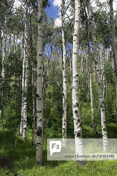 Birch trees in Eagles Nest Wilderness Area  Silverthorne  Colorado  USA  North America