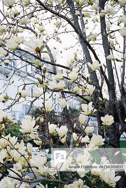 Ein Magnolienbaum mit großen cremefarbenen Blüten  der in einem Hotelgarten blüht.