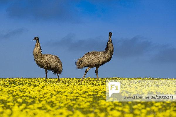 Australien  Port Lincoln  zwei Emus im Rapsfeld stehend