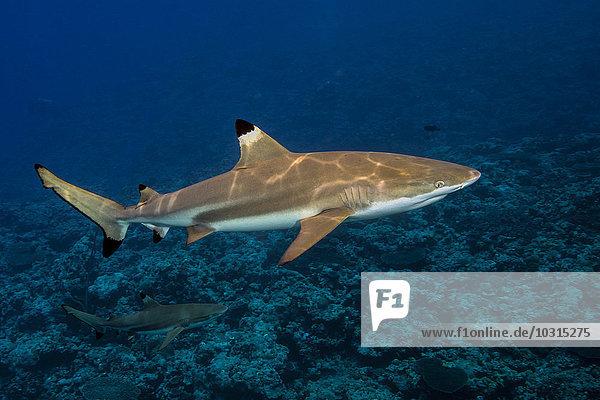 Schwarzspitzenriffhai  Carcharhinus melanopterus