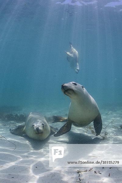 Südaustralien  Hopkins Island  Seelöwen