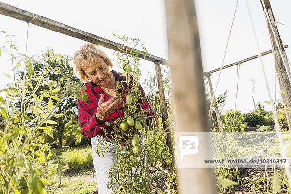 Seniorin im Garten mit Blick auf die Tomatenpflanze
