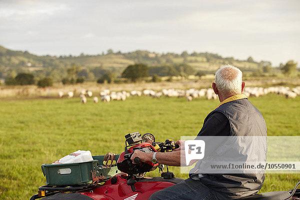 Mann sehen über Tier Schaf Ovis aries Feld Herde Herdentier Vogelschwarm Vogelschar Quadbike