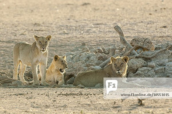 Lions (Panthera leo) resting at a waterhole  Kgalagadi Transfrontier Park  Northern Cape Province  South Africa  Africa