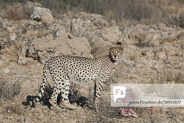 Gepard (Acinonyx jubatus) steht am Riss einer Antilope  Kgalagadi-Transfrontier-Nationalpark  Nordkap Provinz  Südafrika