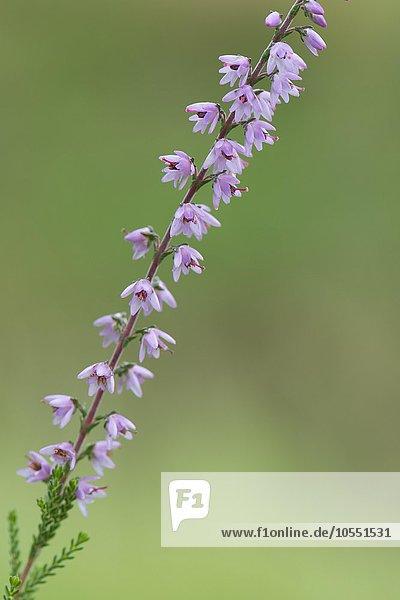 Besenhede (Calluna vulgaris)  Emsland  Niedersachsen  Deutschland  Europa