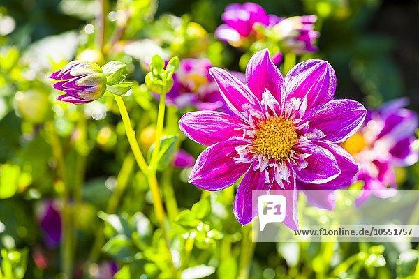 Dahlie (Dahlia)  Sorte Blütenmeer  Heidenau  Sachsen  Deutschland  Europa