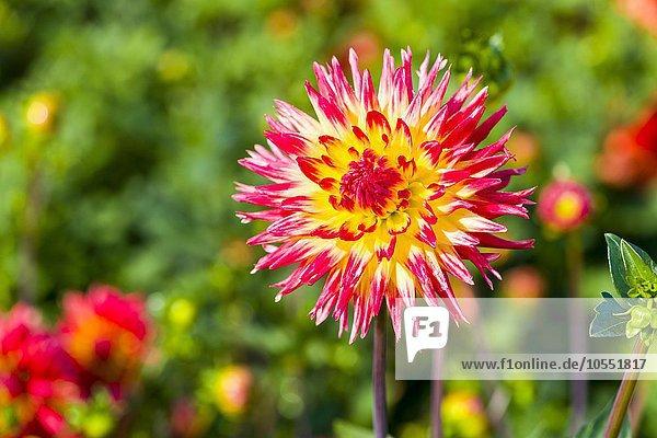 Dahlie (Dahlia)  Blüte  Heidenau  Sachsen  Deutschland  Europa