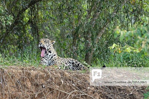 Jaguar (Panthera onca)  gähnend  am Ufer des Rio Cuiaba liegend  Pantanal  Mato Grosso  Brasilien  Südamerika