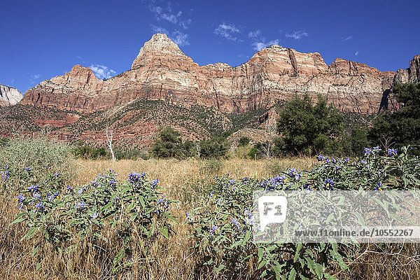 Bridge Mountain  vorne Solanum elaeagnifolium (Solanum elaeagnifolium)  Zion National Park  Utah  USA  Nordamerika