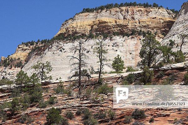 Gesteinsformationen aus Sandstein am Zion-Mount Carmel Highway  Dickhornschafe (Ovis canadensis) laufen auf den Felsen  Zion Nationalpark  Utah  USA  Nordamerika