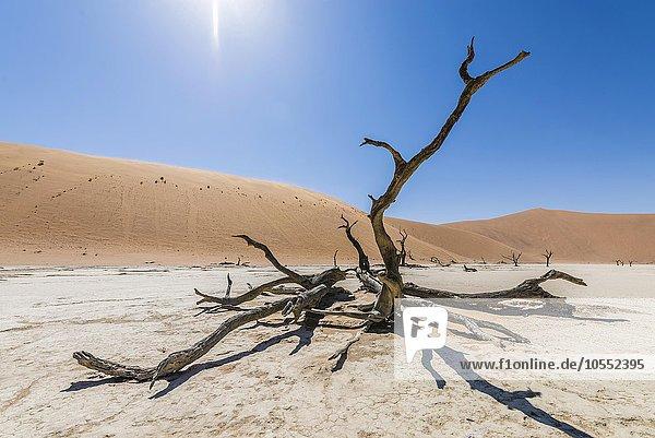 Abgestorbener Kameldornbaum (Vachellia erioloba)  Deadvlei  Sossusvlei  Namib Wüste  Namibia  Afrika