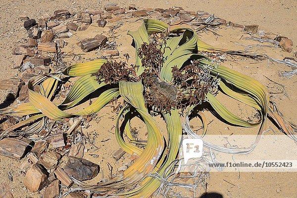 Welwitschie oder Welwitschia (Welwitschia mirabilis)  Namibia  Afrika