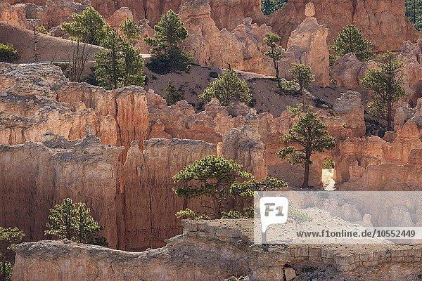 Ausblick auf farbige Gesteinsformationen mit Kiefern (Pinus sp.)  Hoodoos  Morgenlicht  Bryce Canyon Nationalpark  Utah  USA  Nordamerika